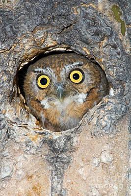 Elf Owl Nesting In Tree Cavity Poster by Craig K Lorenz