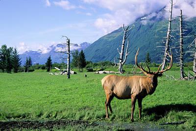 Elk Bull Standing In A Grass Meadow Poster by Angel Wynn