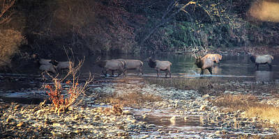 Elk Crossing The Buffalo River Poster by Michael Dougherty
