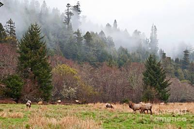 Elk In Fog - Herd Of Roosevelt Elk Cervus Canadensis Roosevelti Grazing In Elk Meadow. Poster by Jamie Pham