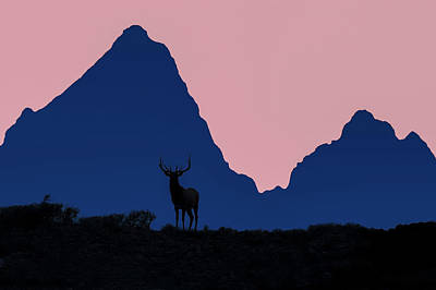 Elk In Sunset Silhouette In Front Poster