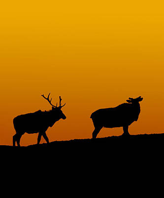 Elk In The Sunset Poster