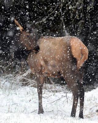 Elk Poster by Jeri lyn Chevalier