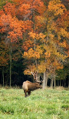 Elk With Autumn Colors Poster