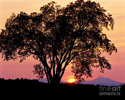 Poster featuring the photograph Elm At Sunset by Alan L Graham