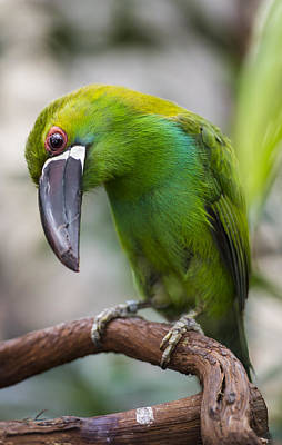 Emerald Toucanet Poster by Phil Abrams