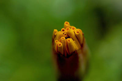 Emerging Bud - Yellow Flower Poster