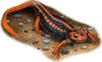 Emperor Newt Poster by Roger Hall