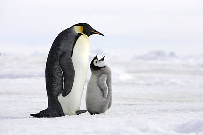 Emperor Penguin And Chick Poster