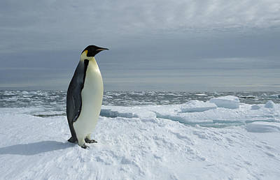 Emperor Penguin On Fast Ice Edge Poster by Tui De Roy