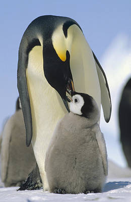 Emperor Penguin Parent Feeding Chick Poster by Konrad Wothe