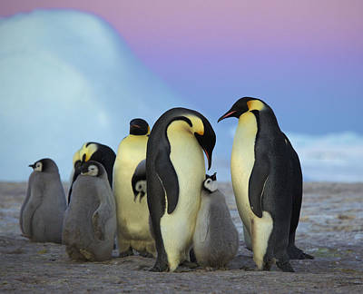 Emperor Penguin Parents And Chick Poster by Frederique Olivier