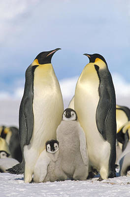 Emperor Penguin Parents With Chicks Poster by Konrad Wothe