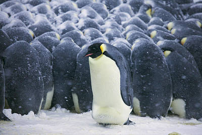 Emperor Penguin Trying To Get Poster by Frederique Olivier