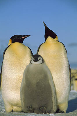 Emperor Penguins With Chick Weddell Sea Poster by Pete Oxford