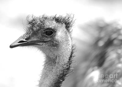 Emu - Black And White Poster by Carol Groenen