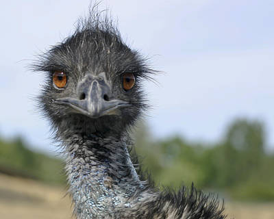 Poster featuring the photograph Emu Gaze by Belinda Greb