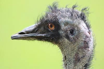 Emu Poster by Paulette Thomas