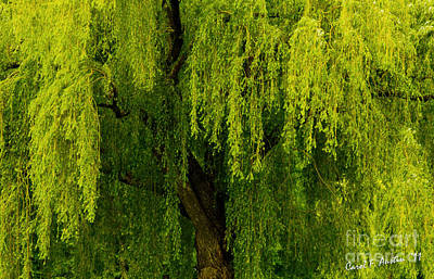 Enchanting Weeping Willow Tree  Poster