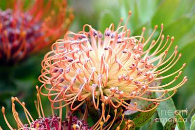 Encompassing Proteas Poster by Mary Lou Chmura