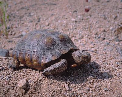 Endangered Desert Tortoise, (gopherus Poster by Greg Probst
