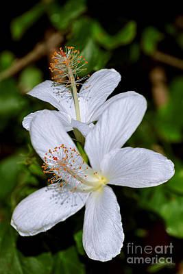 Endangered Koki'o White Hibiscus Poster