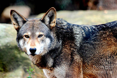 Endangered Red Wolf Poster
