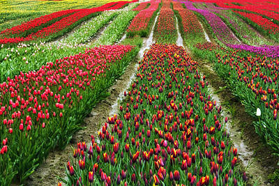 Endless Waves Of Tulips Poster