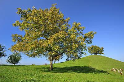 English Black Walnut Tree Switzerland Poster by Thomas Marent