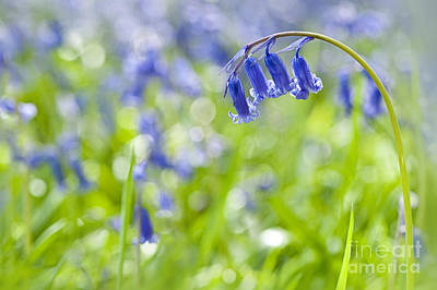 English Bluebell Poster by Jacky Parker