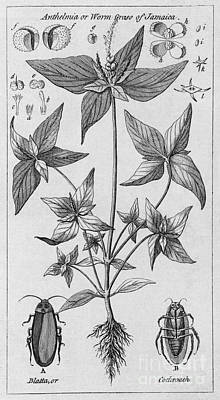 Engraving Of Jamaican Plant Poster