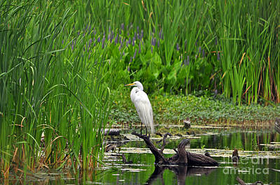 Enticing Egret Poster by Al Powell Photography USA