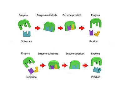 Enzyme Action Poster