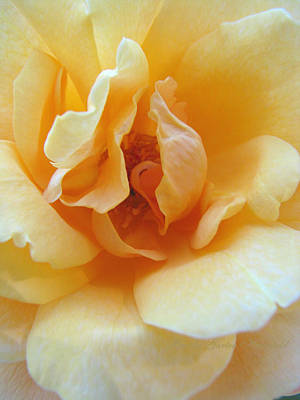 Lightness Of Being - Yellow Rose Macro -floral Art From The Garden Poster