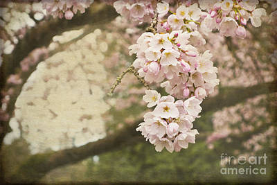 Ethereal Beauty Of Cherry Blossoms Poster by Maria Janicki