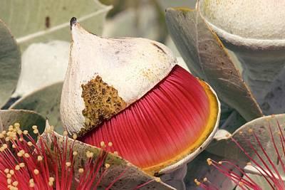 Eucalyptus Macrocarpa Elecantha Buds Poster by Adrian Thomas