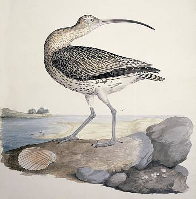 Eurasian Curlew, 19th Century Poster by Science Photo Library