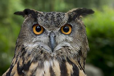 Eurasian Eagle-owl Poster by San Diego Zoo