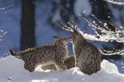 Eurasian Lynx Pair Touching Noses Poster by Konrad Wothe