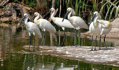 Eurasian Spoonbills At Water's Edge Poster