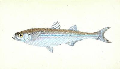 European Atherine, Atherina Hepsetus, British Fishes Poster by Artokoloro
