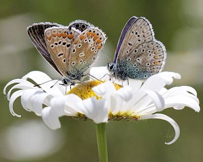 European Common Blue Butterflies Poster