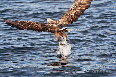 European Fishing Sea Eagle 2 Poster by Heiko Koehrer-Wagner