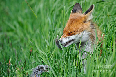 European Fox Eating Bird Poster