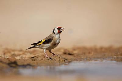 European Goldfinch (carduelis Carduelis) Poster by Photostock-israel