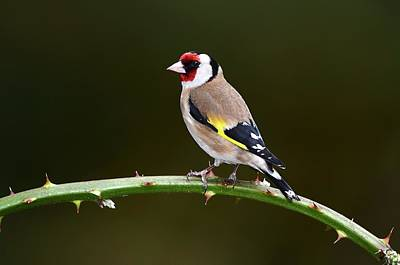 European Goldfinch Poster by Colin Varndell