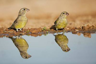 European Greenfinch (carduelis Chloris) Poster by Photostock-israel