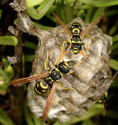 European Paper Wasps And Nest Poster