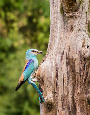 European Roller Bird Going Into Nest Poster by Tom Kolossa