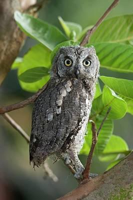 European Scops Owl (otus Scops) Poster by Photostock-israel